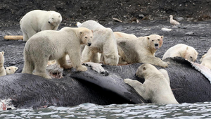 What Can the Gut Microbiome tell us about Polar Bear Health?