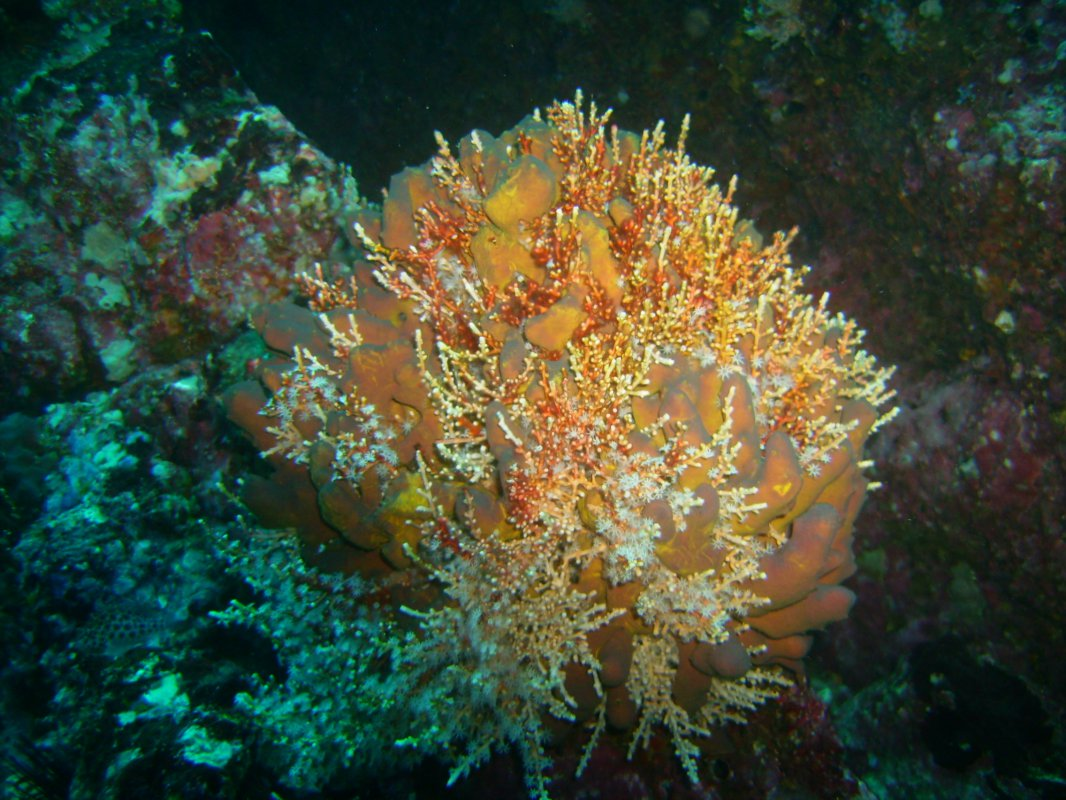 1.6 Octocoral Carijoa riisei as facilitator for sponge colonization.