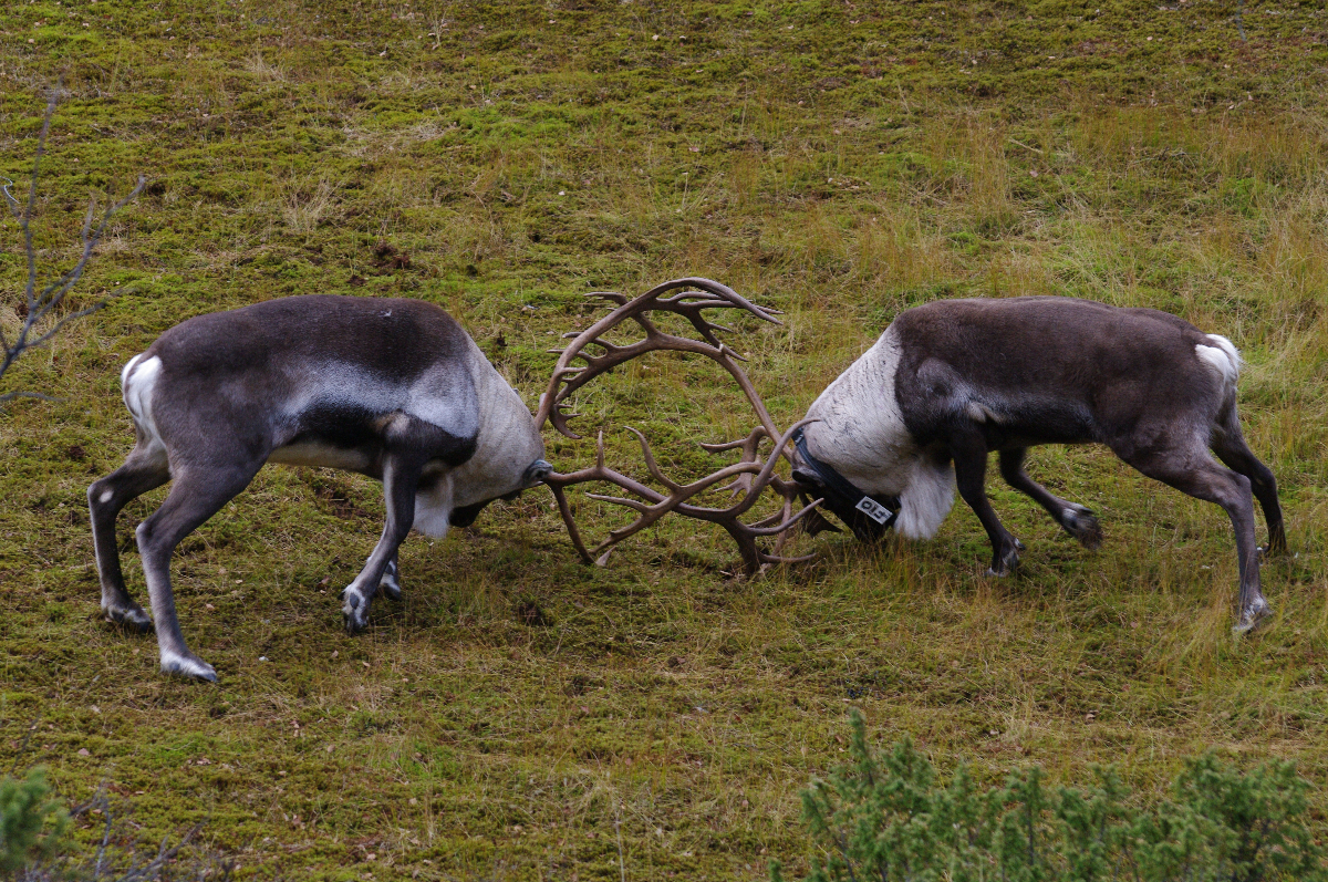 Fission-fusion dynamics in reindeer during the rut