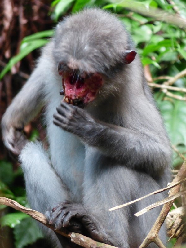 2.19 Treponema infection in a wild sooty mangabey in Taï National Park, Côte d'Ivoire.