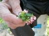 3.9 Fort McKay Elder James Grandjambe holding cranberry (vaccinium vitis-idaea) flowers.