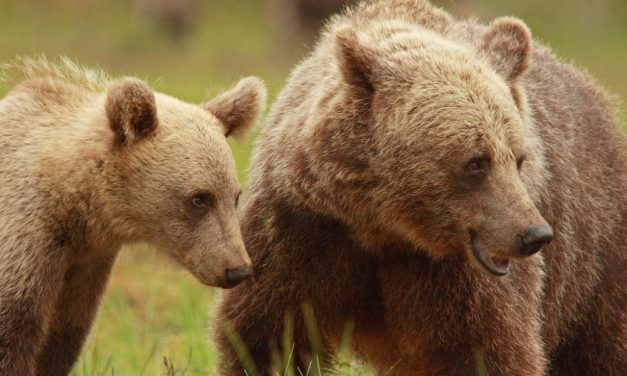Indirect effects of hunting regulation on female brown bear behaviour